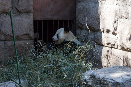 Панда, Пекинский зоопарк