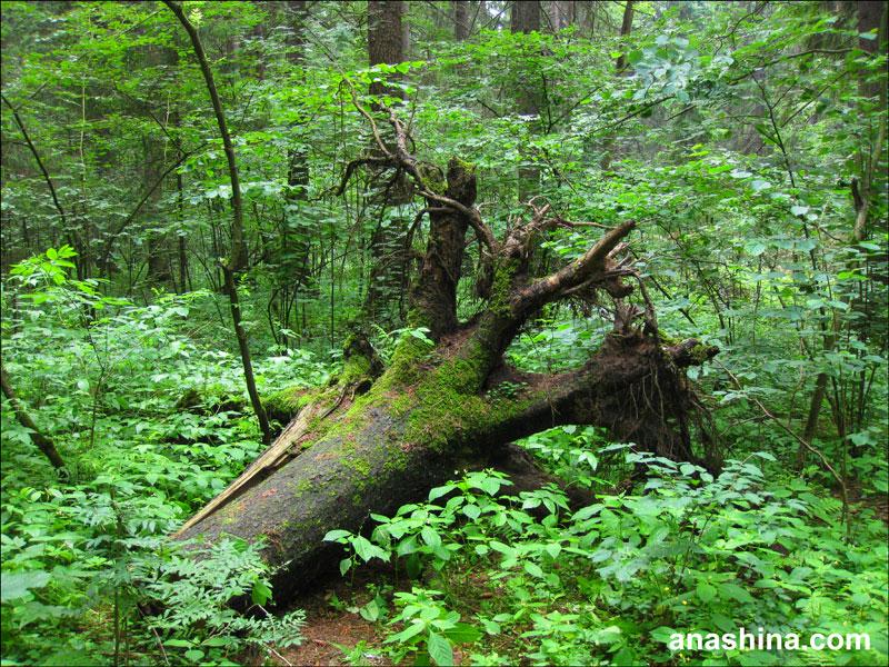 Упавшее дерево, Лесной городок