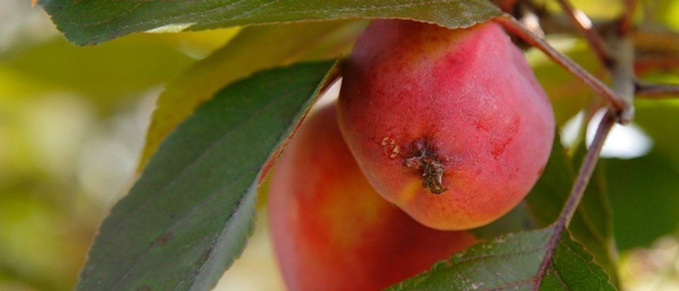 Польза яблок для людей и для животных