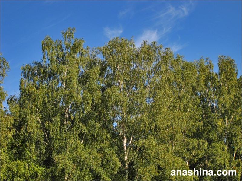 Деревья и небо, август в Подмосковье