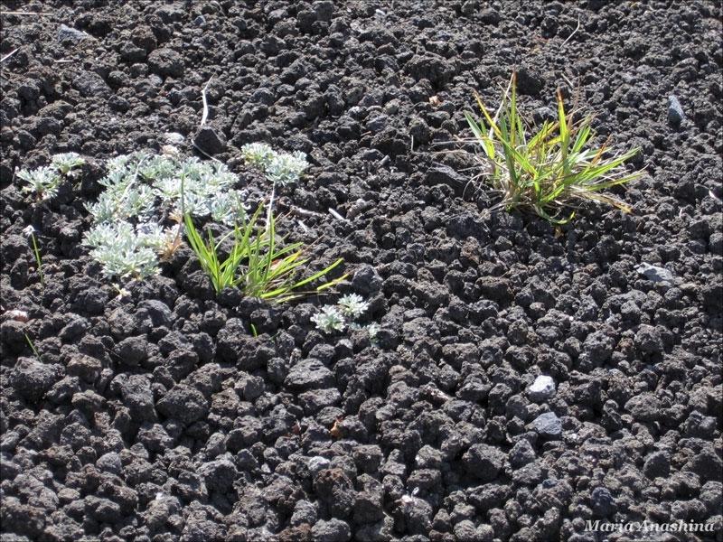 Козельский вулкан, растительность на вулканическом шлаке