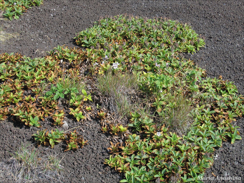 Растительность на Козельском вулкане, Камчатка
