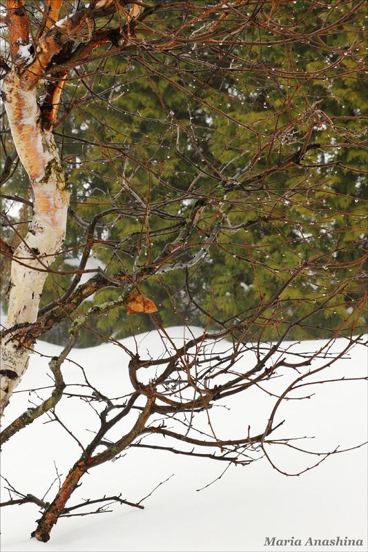 Капельки на ветвях березы