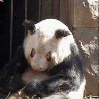 Панда в Пекинском зоопарке