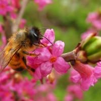 Пчела на волчеягоднике