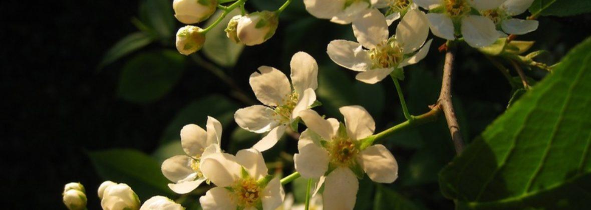 Черемуха цветет!
