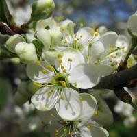 Цветок вишни