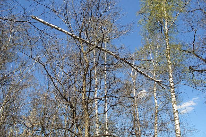 Ствол березы, висящий на ветвях деревьев, Тимирязевский лесопарк