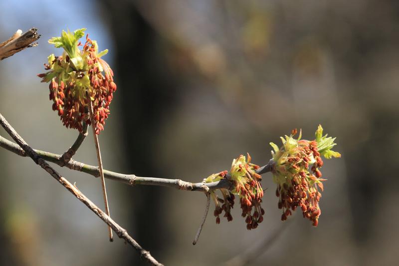 Сережки клена ясенелистного