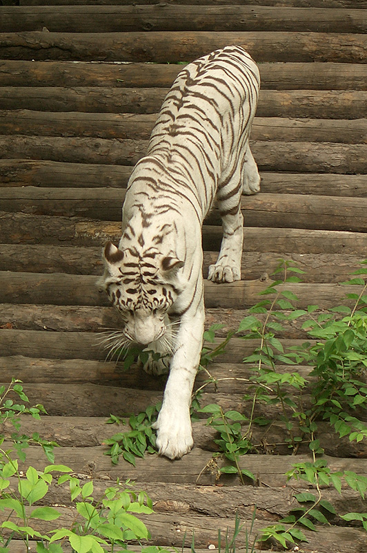 белый тигр, Пекинский зоопарк