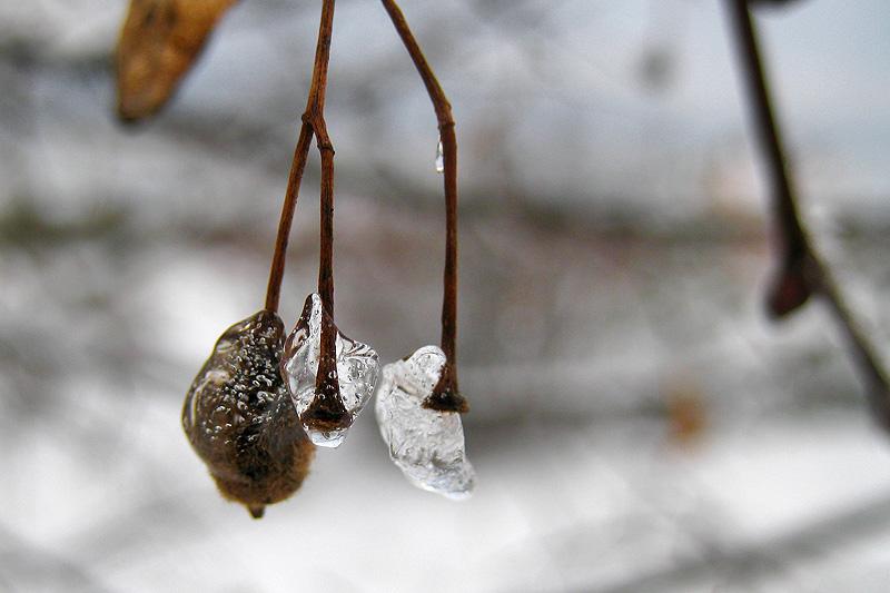 Лед на веточке