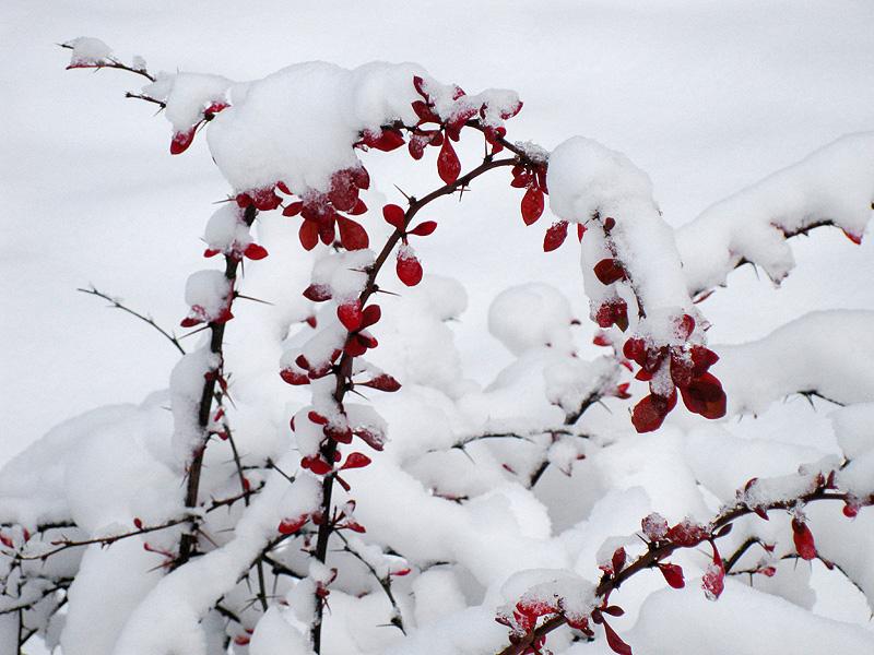 Куст с красными листочками