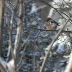Сойки, которые распугали всех птиц