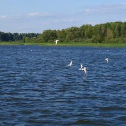 чайки, Иваньковское водохранилище
