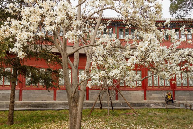 Магнолия, Пекин