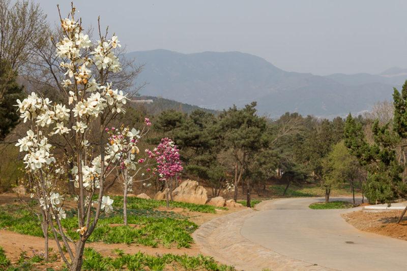Магнолия, парк Сишань, Пекин