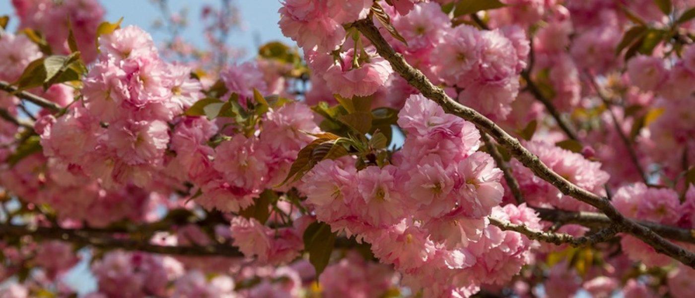 Цветение сакуры в парке Юйюаньтань