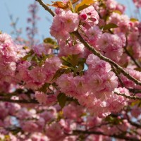 Цветение сакуры в пекинском парке Юйюаньтань