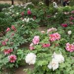 Пион древовидный -«царь цветов» в Китае