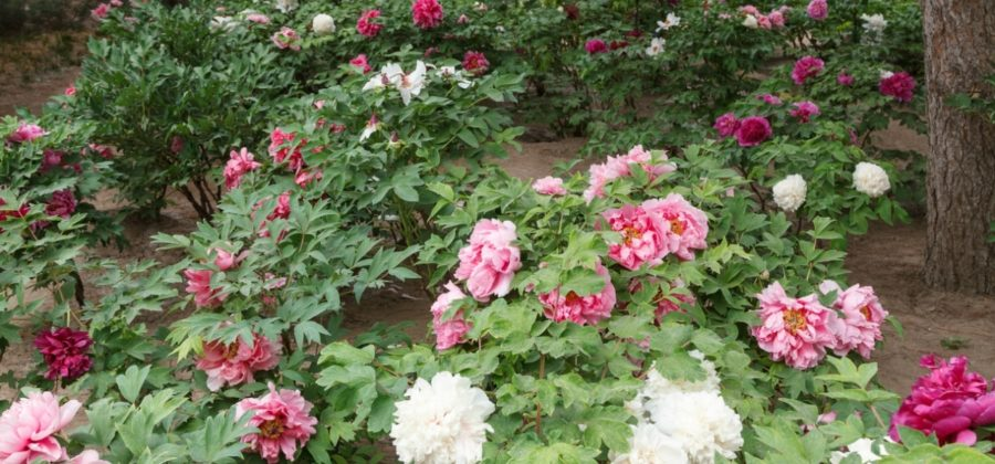 Пион древовидный — царь цветов в Китае