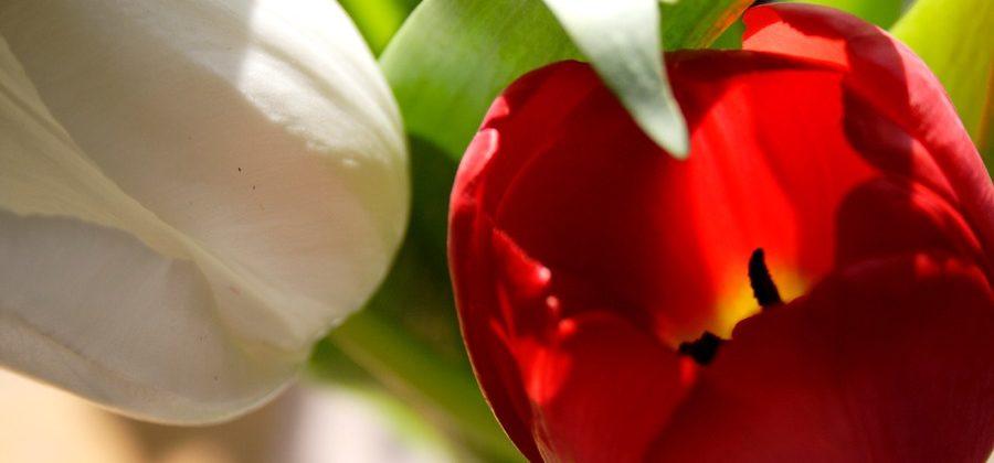 Тюльпаны: красное и белое