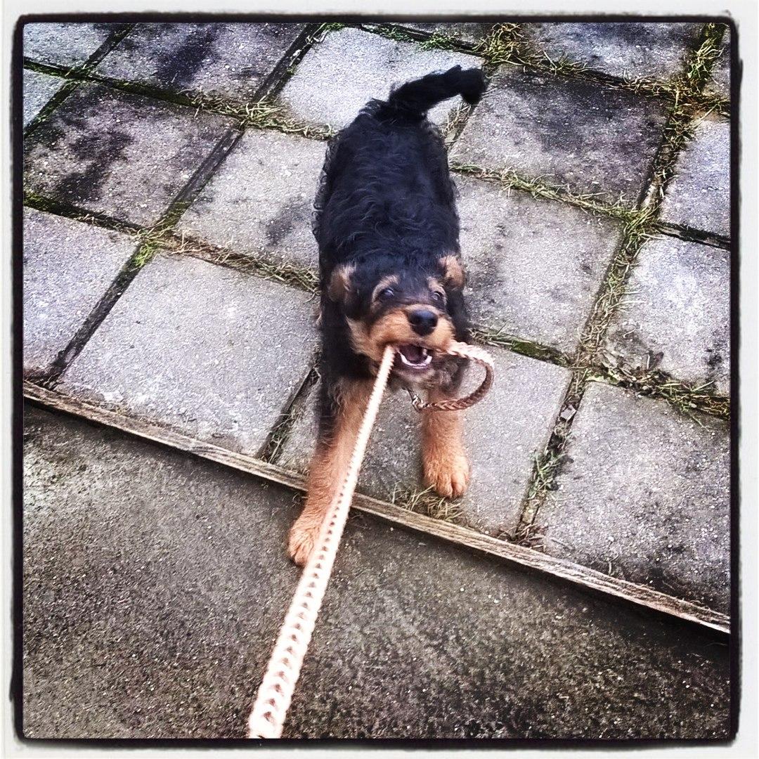 эрдельтерьер, щенок