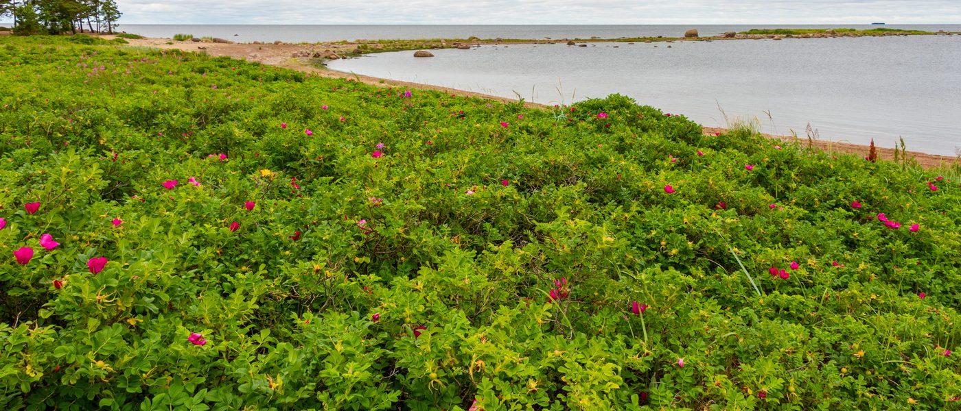Море шиповника на берегу Финского залива