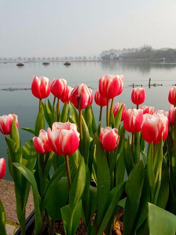 Тюльпаны около озера Сиху, Ханчжоу