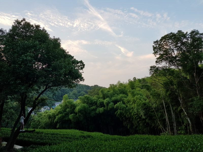 Чайные плантации, Ханчжоу