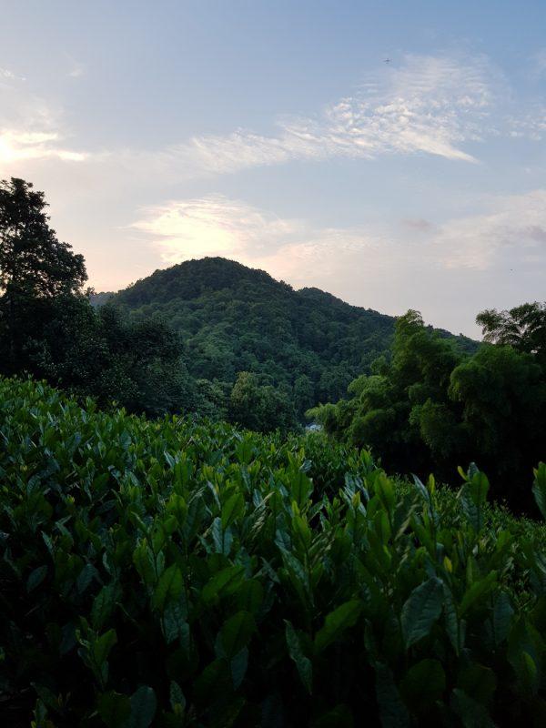 Чайные плантации, Ханжоу