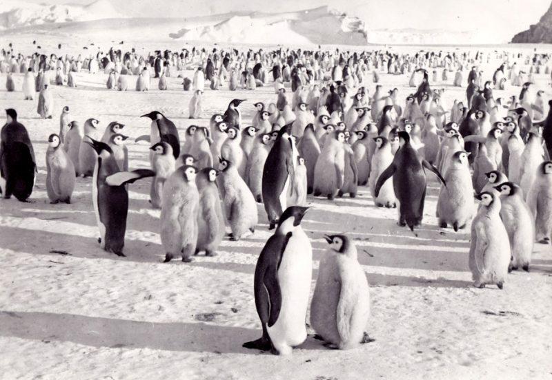 Антарктида, императорские пингвины