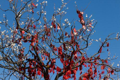 Цветущая слива с благопожеланиями в парке Сяншань, Пекин