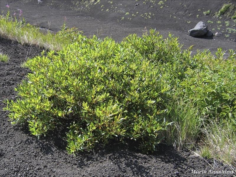 Козельский вулкан, растительность на вулканическом шлаке, Камчатка
