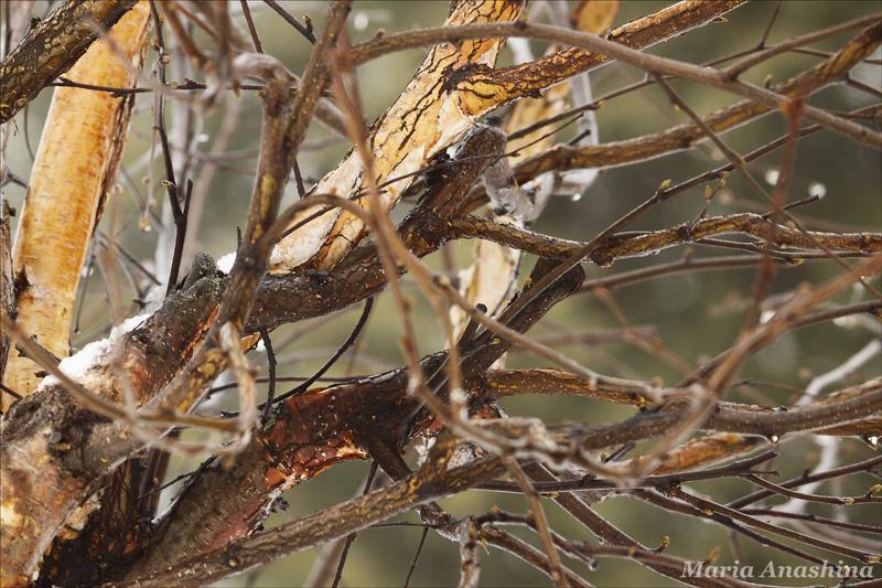 Ствол и ветви березы