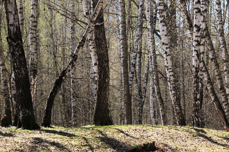 Березовая роща, Тимирязевский лес