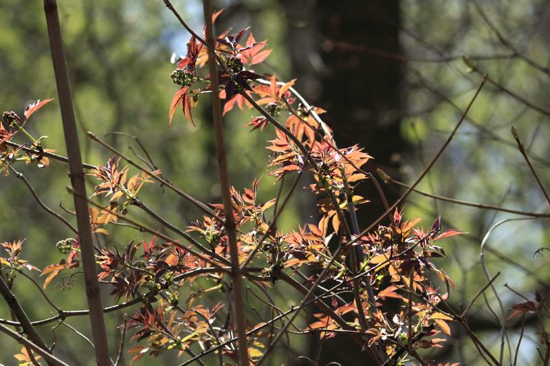 Клен ясеневидный, Тимирязевский парк