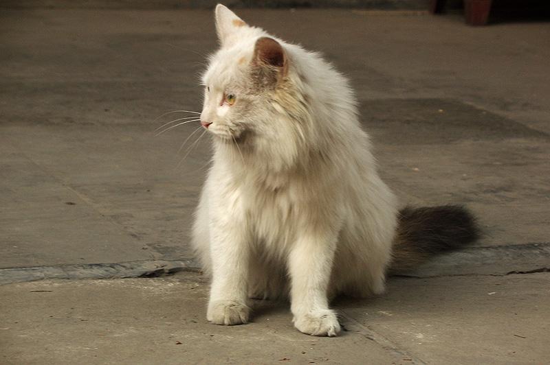 Кошка в храме Дунъюэ, Пекин