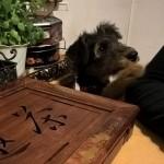 Гера: превращение щенка в маленького эрдельтерьера