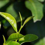 На родине краснодарского чая: усадьба Иуды Кошмана в Солохауле